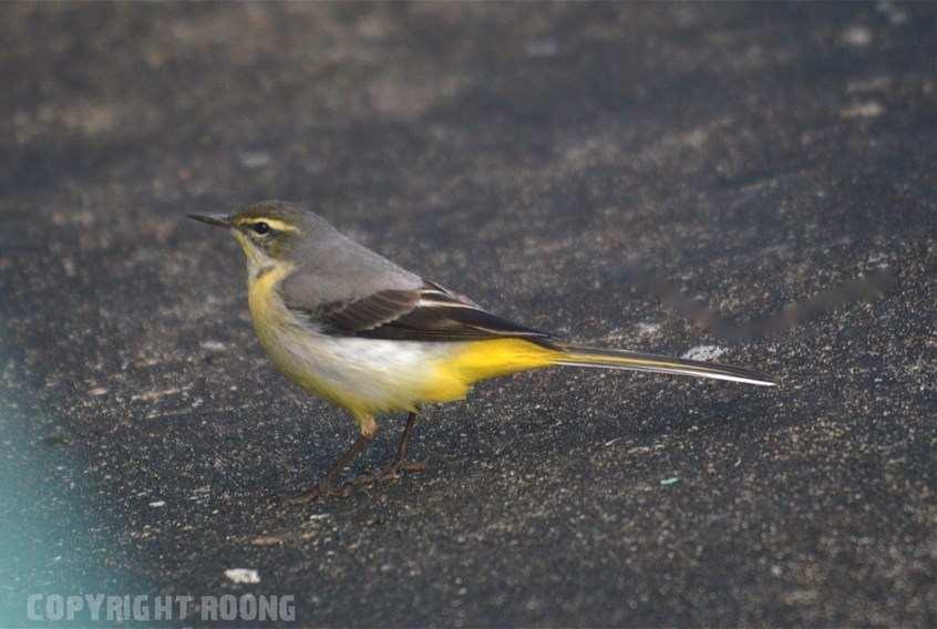 Les oiseaux phuket thailande par roong for Oiseau tete noire et blanche