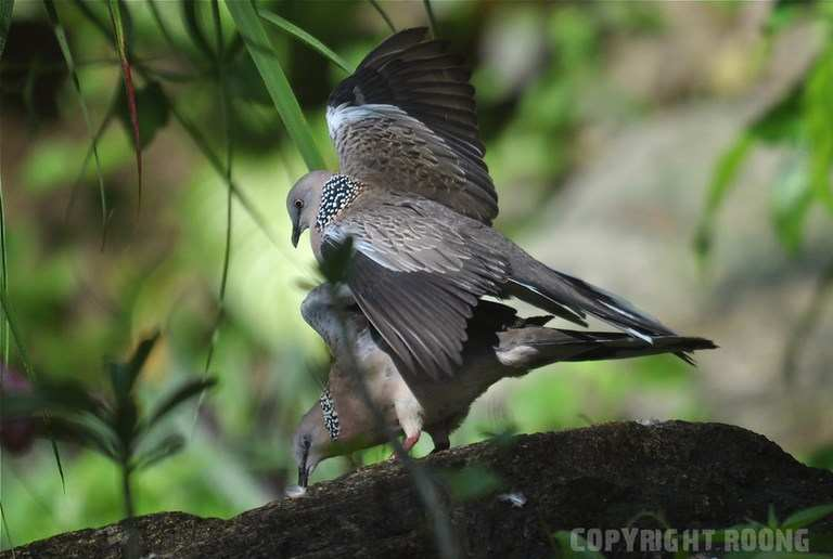 spotted dove . streptopelia chinensis